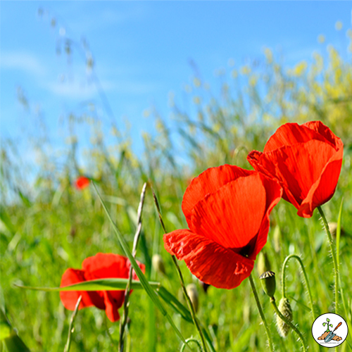 Bright red poppy Flowers Growing in the flower garden