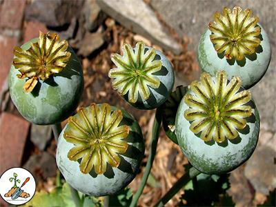 Poppy garden flowers grown from garden seed