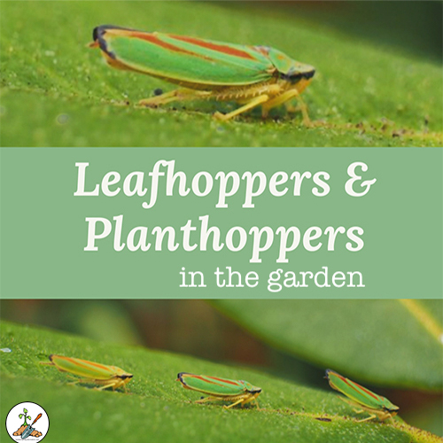 Leafhoppers and Planthoppers in the Garden