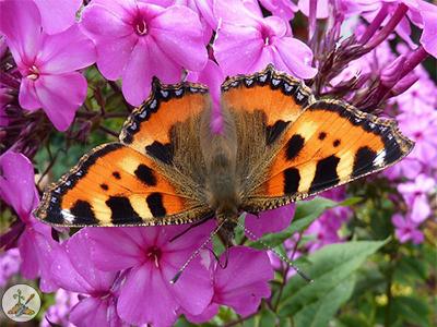 Pink Garden Flower Phlox attracts butterflies and hummingbirds
