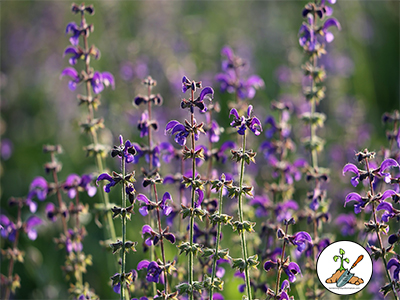 Number 2 - Salvia on the top 10 purple garden plants.   Spikes of color all season long. The plant grows 18 and 36 inches tall depending on variety and loves hot, humid weather.  Hardy from zone 4 to 10.