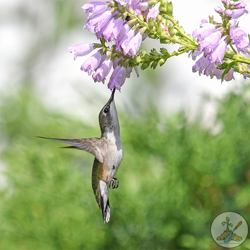Ruby Red Throat Hummingbird on obedient plant