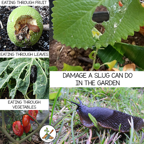 Slugs are nocturnal and feed at night when we generally can't see them.  – Eat clean through fruits and vegetables.  – Make holes in crops and leaf vegetation.   – If you have signs of slugs, you should get them under control immediately.