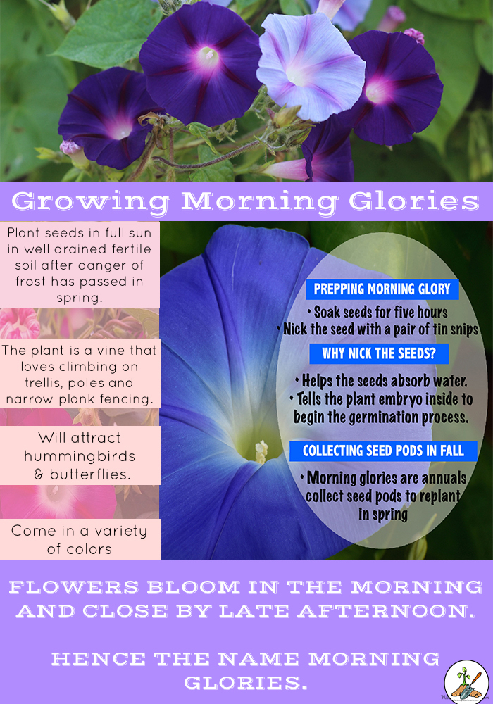 Tips and Tricks To Plant Morning Glory Seed
