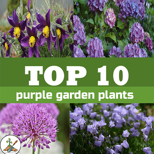 10 purple flowers for flower gardens