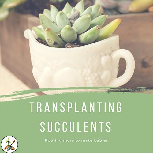 Transplanting Succulents