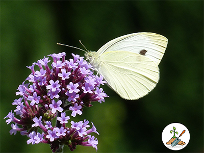 Purple Verbena Flower with cabbage white butterfly on it.