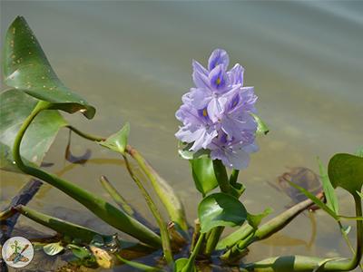 Beautiful purple water hyacinth pond flower
