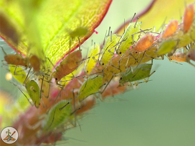 What does an aphid look like? Very small insect with a pear-shaped body.. Can appear white, black, brown, gray, yellow and light green, depending on the type. They feed on just about every plant in every zone.
