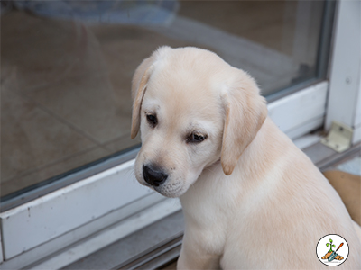 Young Lab Puppy