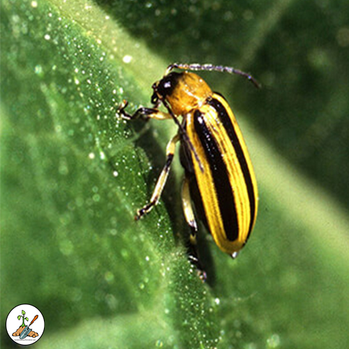 The cucumber beetles name comes from its appetite for eating its way through your cucumber, melon, squash type plants and ornamental plants. The beetles tend to be found on the leaves and flowers on the plants.