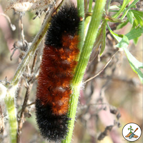 Banded woolly bear or just woollybear or woolly worm caterpillar.  That is all the names this brown and black banded caterpillar goes by.