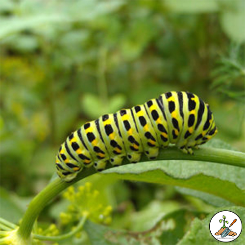 Young Eastern Tiger Swallowtail caterpillars are brown and white; older ones are green with two black, yellow, and blue eyespots on the thorax.