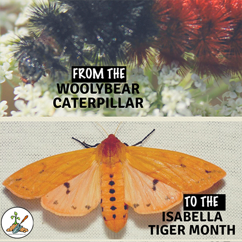 The fuzzy woolybear caterpillar turns into the Isabella tiger month.