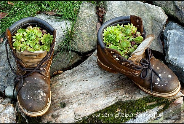 hen and chick plants in a boot re purposed planter weed. Black Bedroom Furniture Sets. Home Design Ideas