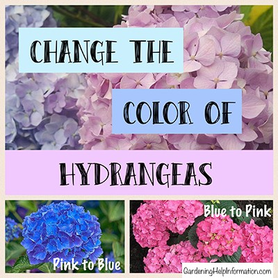 How To Change The Color Of Hydrangeas Weed It Reap